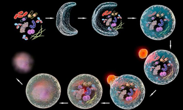 What is autophagy